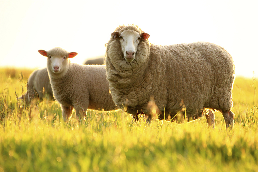 2 Healthy Merino Sheep in sunset