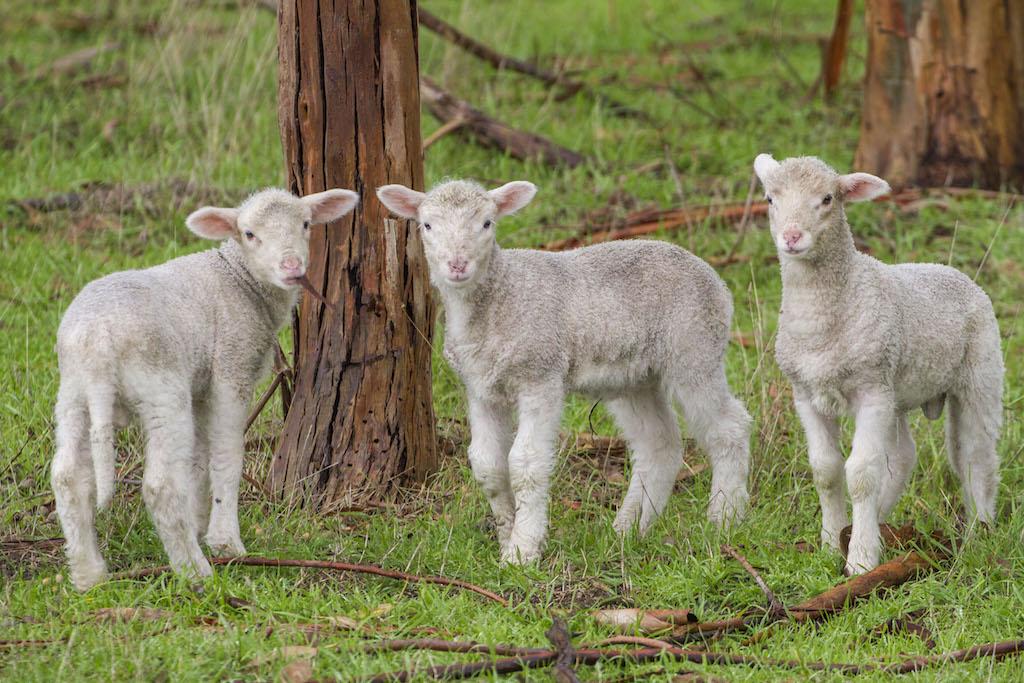 3 Healthy Merino Lambs
