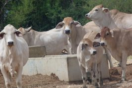 Cattle standing around feeding trough in Far North Queensland