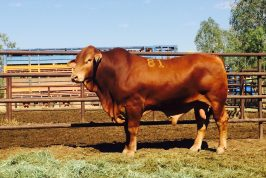 Top Price Bull from Fitzroy Crossing Annual Bull Sale