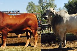 Top and Second Top Priced Bulls at Fitzroy Crossing Annual Bull Sale 2016