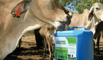 green-cap-supplement-cow
